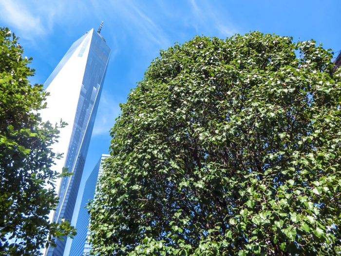 September 11th Museum and Memorial // the Survivor Tree from 9/11/2001