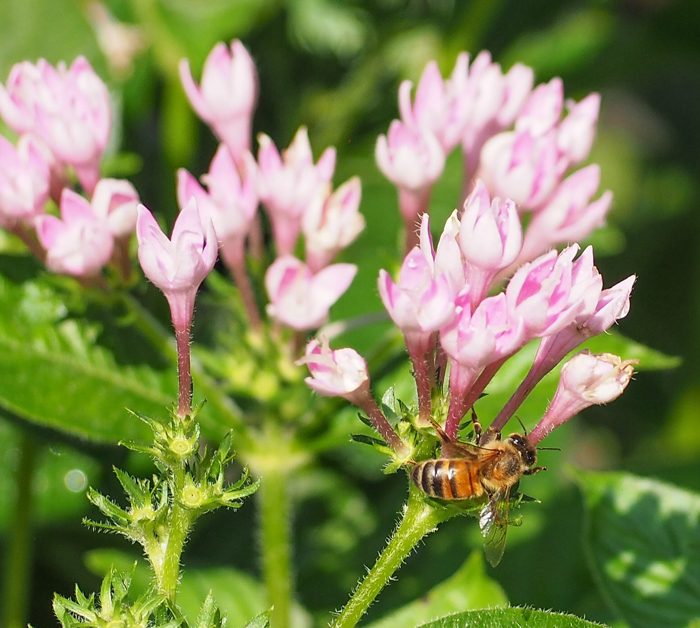 Honeybee on pink flower at the Dallas Arboretum and Botanical Gardens // Dallas CityPASS