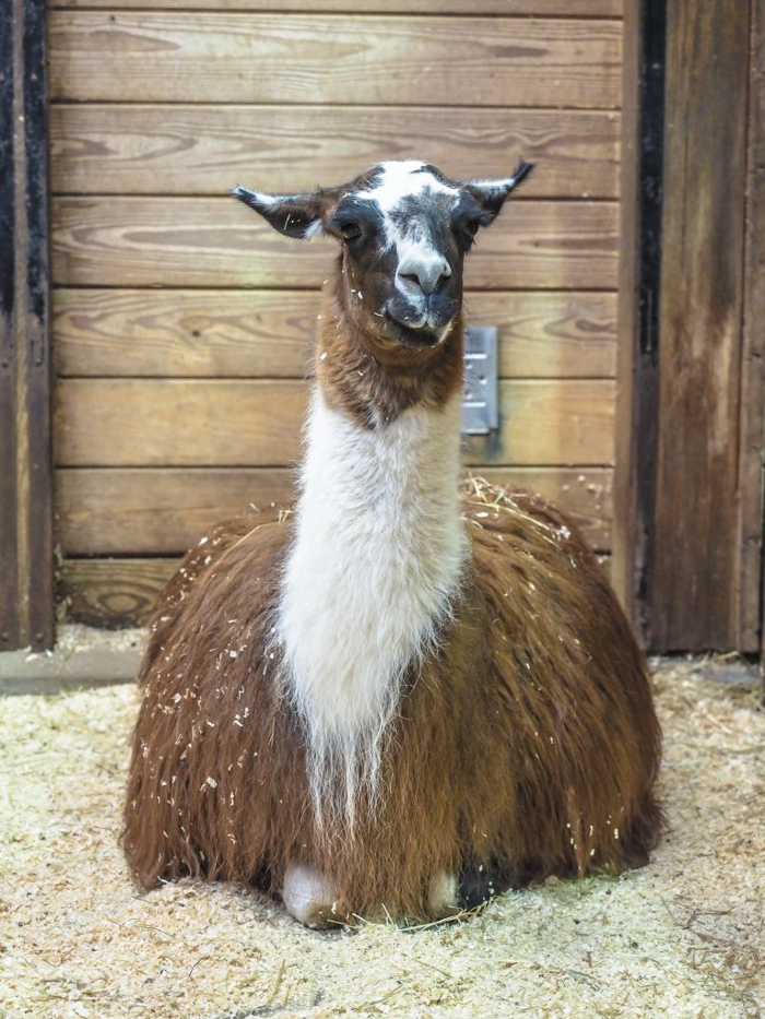 A llama in the barn at Plimoth Plantation in Plymouth, Massachusetts on Thanksgiving