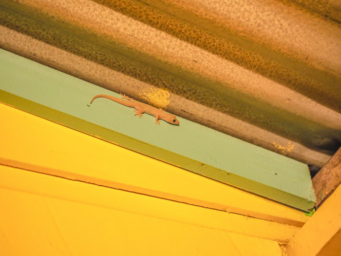 things that shocked me in belize // screaming gecko