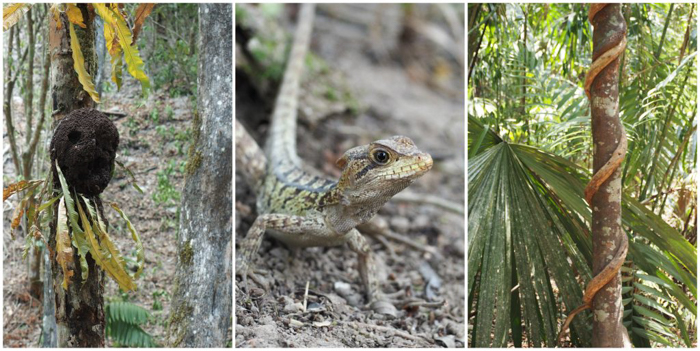 Termites, lizards, and vines on the hike to the ATM Cave in Belize | Map | San Ignacio, Belize | Cayo District | Tapir Mountain Nature Reserve | Actun Tunichil Muknal | Maya | Mayan archaeological site | skeletal remains | Cave of the Sone Sepulcher | Pacz Tours