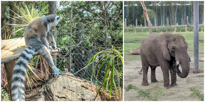 Lemurs at the Florida Aquarium and elephants at ZooTampa // How to use the Tampa Bay CityPASS as a childless adult. #zootampa #tampabay #florida #citypass #traveltips #vacation #tampa #timebudgettravel