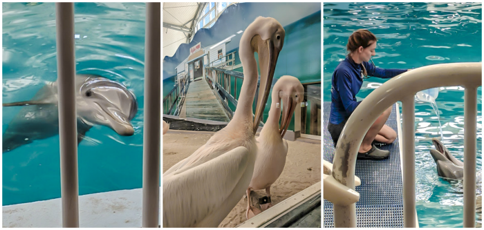 Clearwater Marine Aquarium, hope, pelicans, dolphins // How to use the Tampa Bay CityPASS as a childless adult. #dolphintale #aquarium #tampabay #florida #citypass #traveltips #vacation #rollercoaster #tampa #timebudgettravel #beer