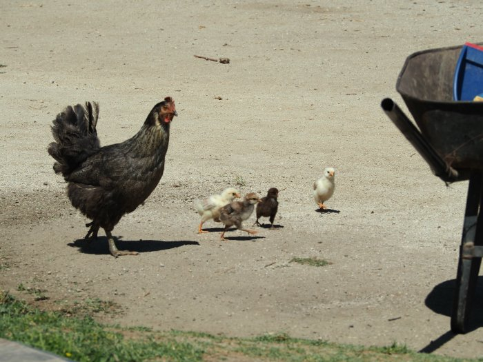 Chickens at Vina Emiliana winery | Wine Tasting in Chile: Casablanca vs. Maipo Valley | How to decide where to go wine tasting in Chile | Casablanca valley wineries | #chile #wine #winetasting #chickens #casasdelbosque #casablanca