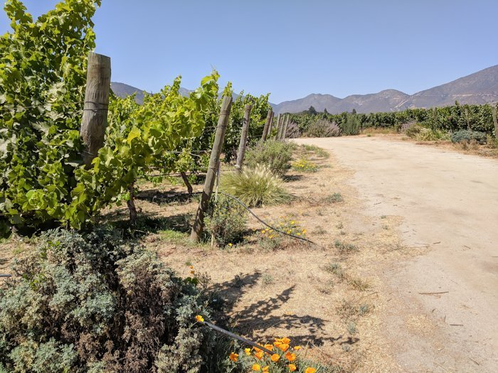 Vineyard at Vina Emiliana winery | Wine Tasting in Chile: Casablanca vs. Maipo Valley | How to decide where to go wine tasting in Chile | Casablanca valley wineries | #chile #wine #winetasting #vineyard #emiliana #casablanca #vines