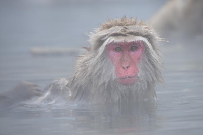 Snow monkey in Japan