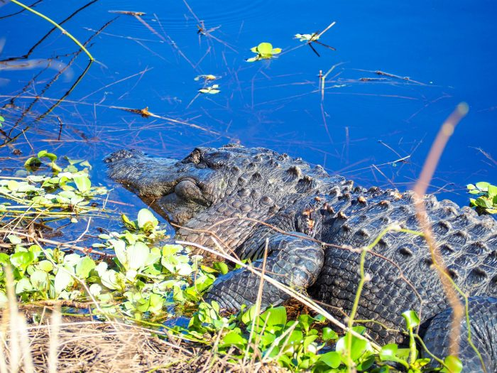 Myakka State Park alligator / 3 days in Sarasota, Florida / What to do in Sarasota, Where to eat in Sarasota, itinerary and information guide