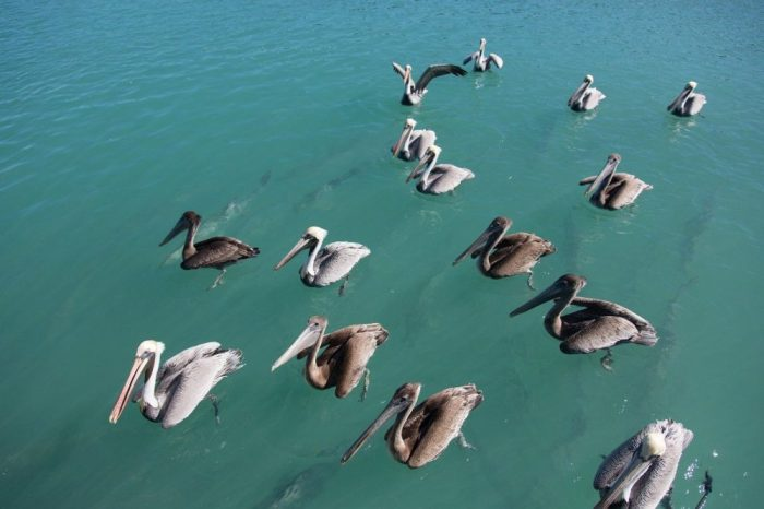 Key West Tips: Helpful Things to Know for a Kickass Weekend in Key West   pelicans
