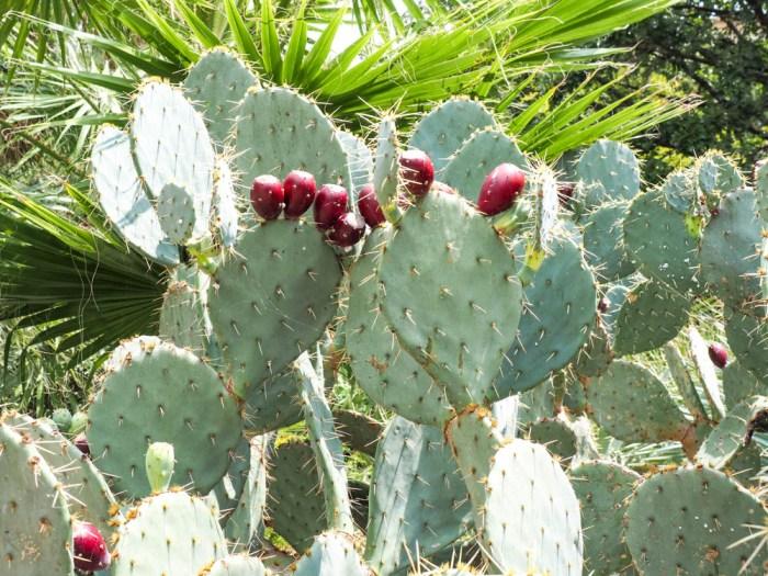 blooming cactus san antonio texas
