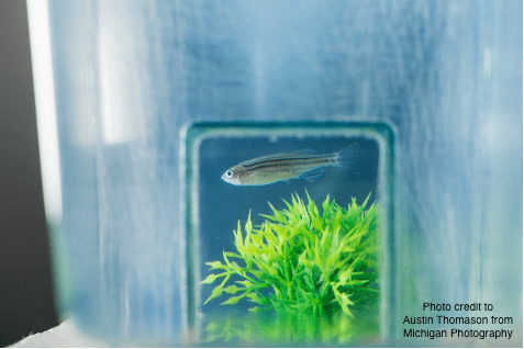 Zebrafish In Tank