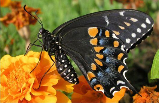 Black Swallowtail Papilio Polyxenes