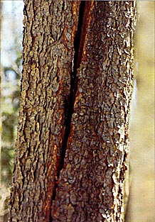Dangerous Crack in tree