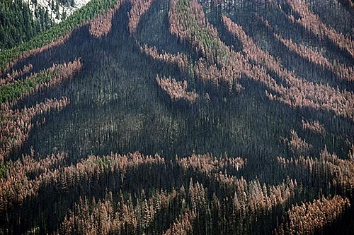 Swath of pines killed by the mountain pine beetle