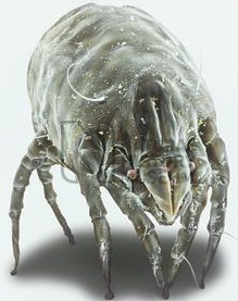 A dust mite under high magnification