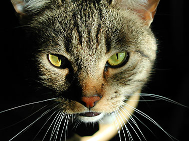 Cats cause a great deal of suffering to allergic individuals