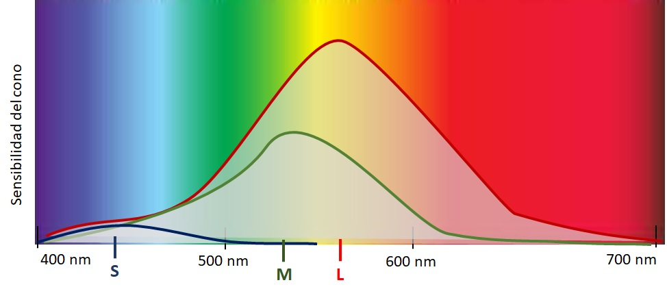 Sensibilidad a la luz de los tres tipos de conos. Los conos S tienen máxima sensibilidad entorno a los 400nm, los conos M sobre los 525, y los L sobre los 560.