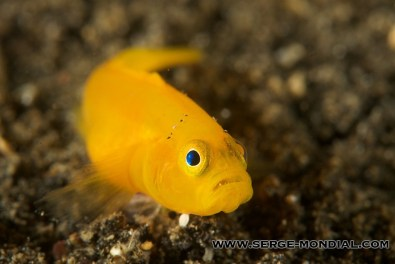 Yellow_Pygmy_Goby