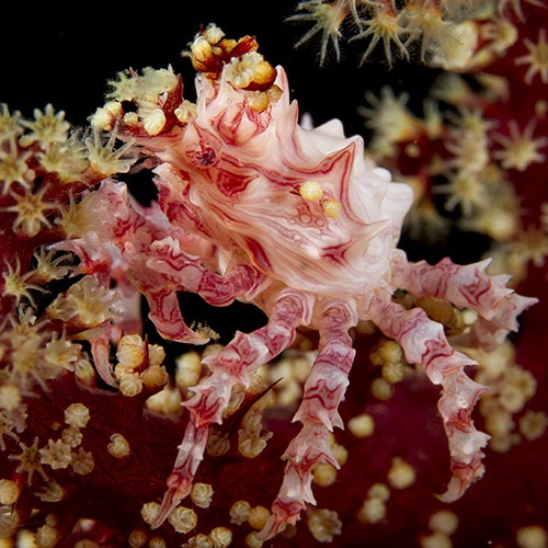 Candy crab in soft coral