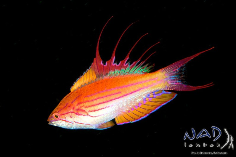 Male Flasher Wrasse
