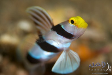 Yellow Nose Goby