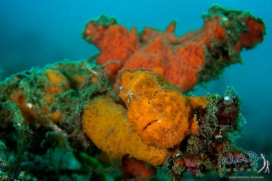Orange Painted Frogfish hiding in a sponge