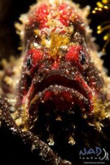 Scarlet Frogfish