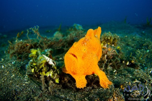 Orange Painted Frogfish