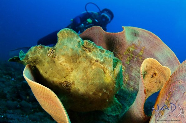 Giant Frogfish in Sponge