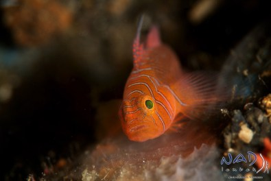 Priolepsis vexilla –ribbon reef goby hiding in rock crevices of the pinnacle