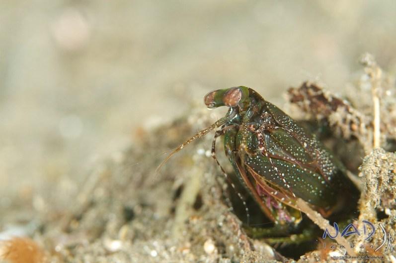 This very dark Mantis Shrimp suddenly shows a green colouration