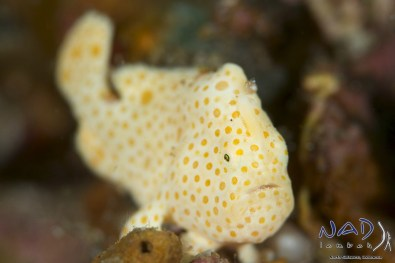 Juvenlie Painted Frogfish