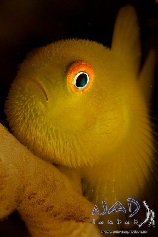 Hairy Goby