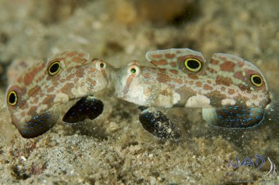 Gobies of Lembeh (10)