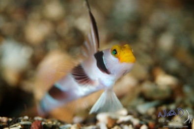 Black Ray Goby