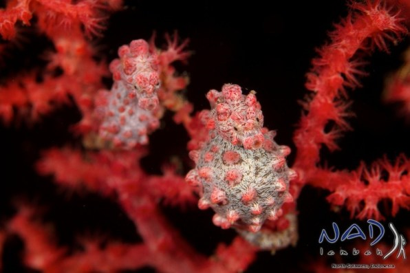 Pygmy Seahorses can be found in Muricella Seafans