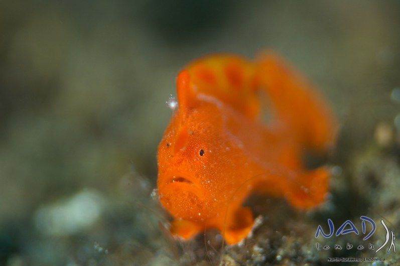 Juvenile Painted Frogfish