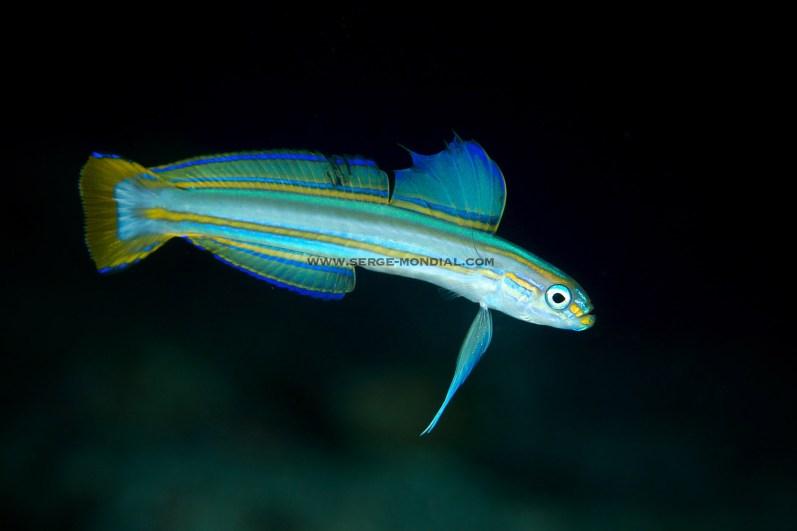 Lined Dartfish –a very cool deep water critter