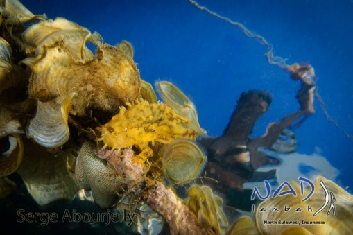 Sargassum Frogfish (Histrio histrio) at NAD Lembeh Jetty