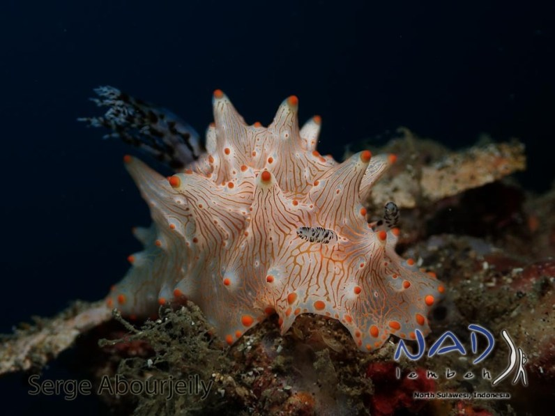 Underwater Photo taken with Olympus TG-4 at NAD-Lembeh / North Sulawesi / Indonesia
