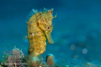 Common Seahorse / Hippocampus taeniopterus in Lembeh Strait