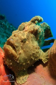 Giant Frogfish (Antennarius commersoni) / Lembeh Strait