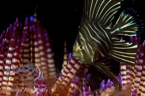Zebra Batfish in Fire Urchin / Lembeh Strait