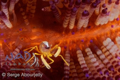Squat Lobster in Sea Urchin / Lembeh Strait