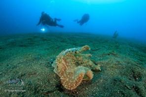 Wonderous Melibe Wide Angle / Lembeh Strait