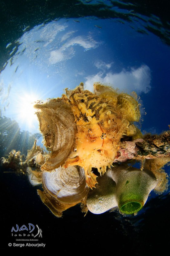 Sargassum Frogfish on housereef