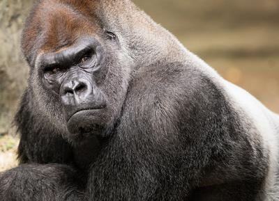 Glenn Nagel Photography: Slideshow &emdash; Silverback gorilla