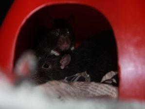 Endlich im Tierheim angekommen warten noch viele Ratten auf ein neues Heim!
