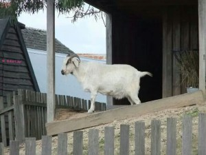 Soverign Hill, Ballarat - Sovereign Hill - A goat
