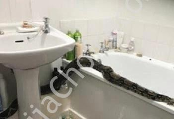 Shocking! Woman Finds Gigantic Snake In Her Bathroom