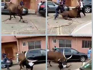 Man Escapes Being Crushed By An Angry Cow During Sallah